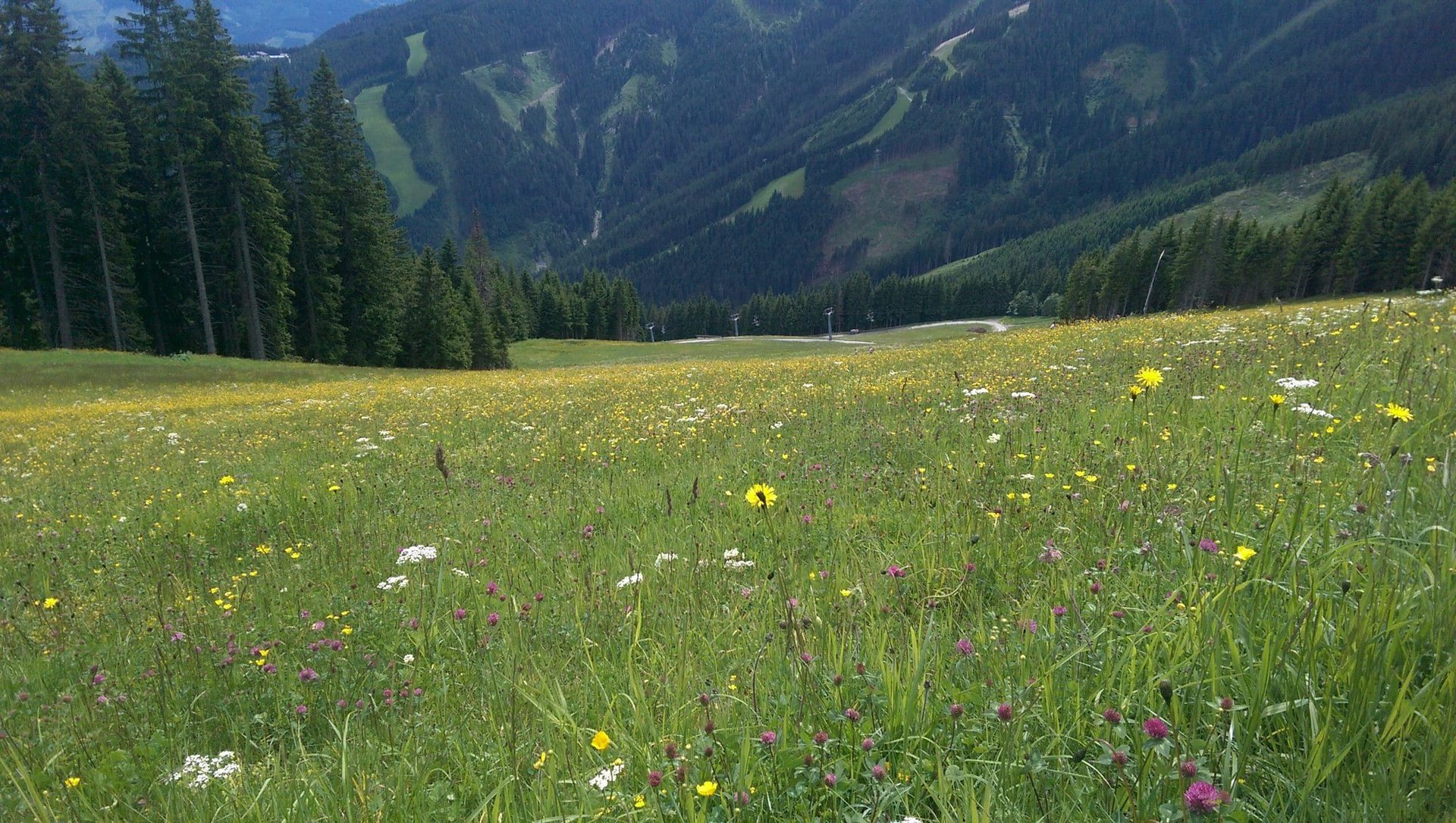 Sommerwiese auf der Sonnenalm in Zell am See